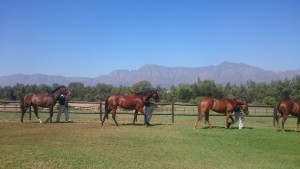 Walking yearlings