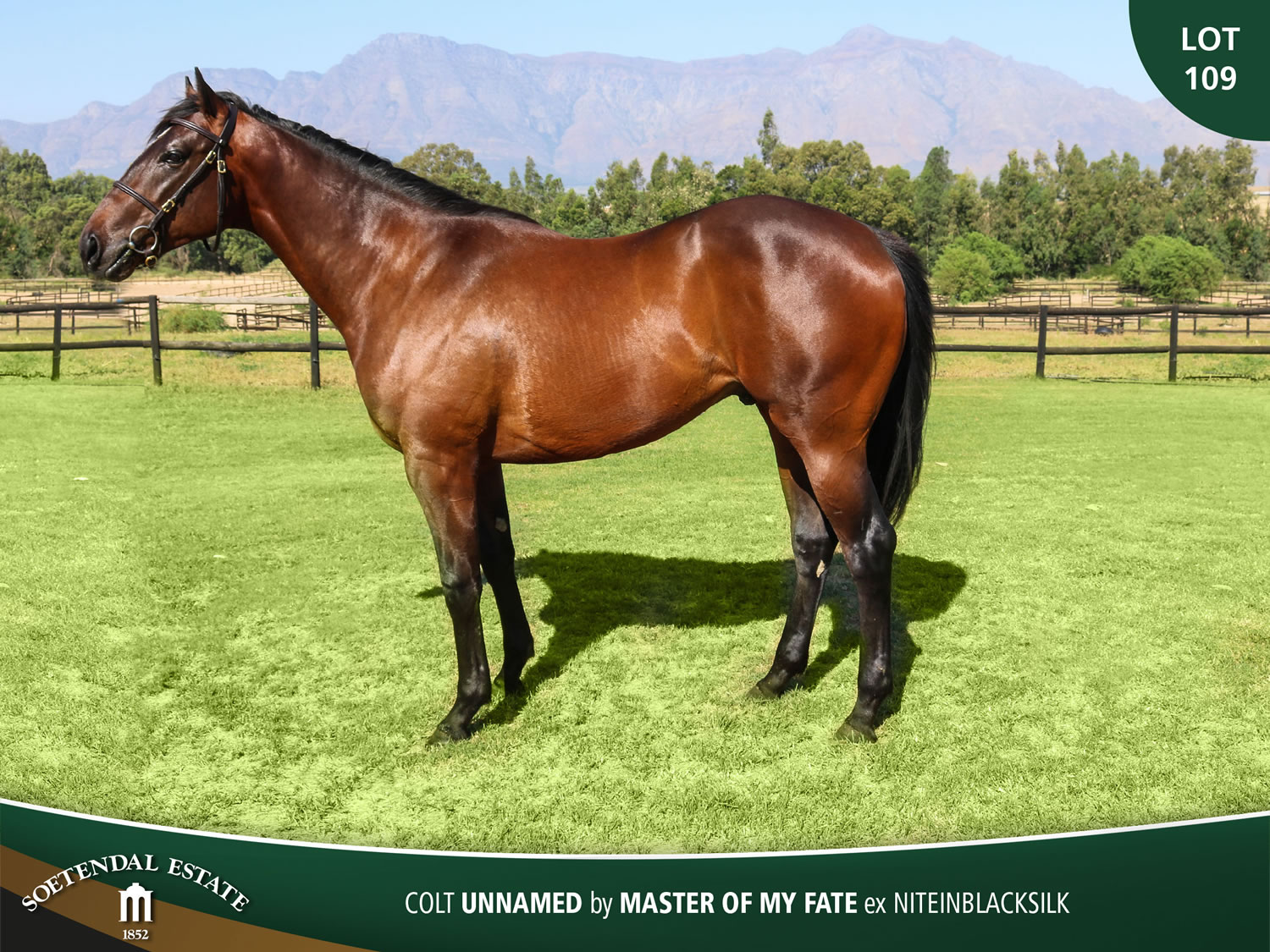 Lot-109-Colt-Unnamed-by-Master-of-My-Fate-ex-Niteinblacksilk