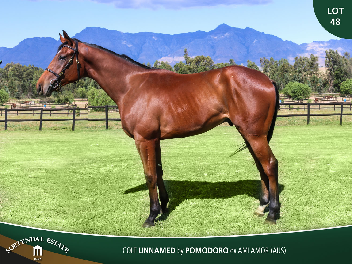 Lot-48-Colt-Unnamed-by-Pomodoro-ex-Ami-Amor-AUS