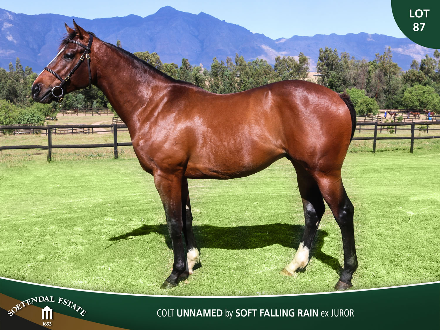 Lot-87-Colt-Unnamed-by-Soft-Falling-Rain-ex-Juror