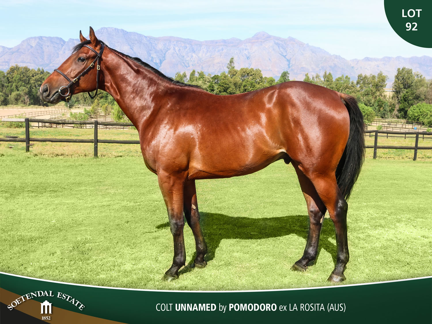 Lot-92-Colt-Unnamed-by-Pomodoro-ex-La-Rosita-AUS