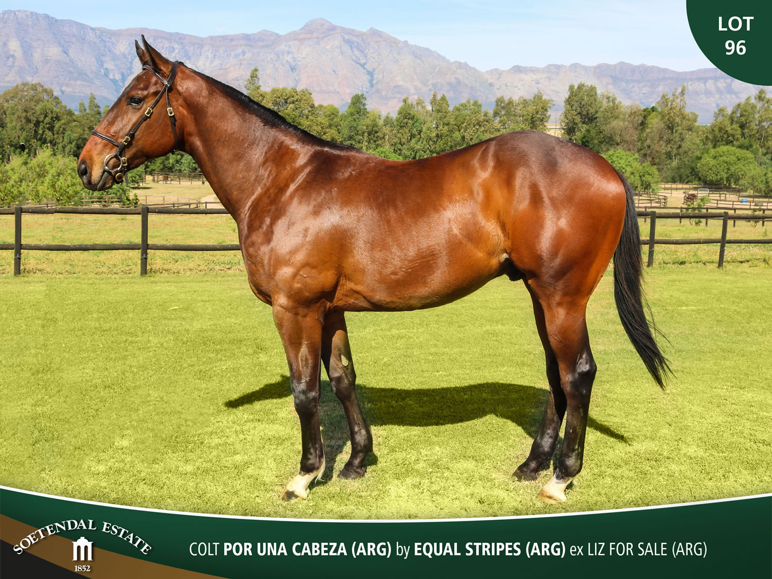 Lot-96-Colt-Por-Una-Cabeza-ARG-by-Equal-Stripes-ARG-ex-Liz-For-Sale-ARG